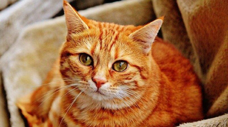 Cara Berkembang Biak Kucing