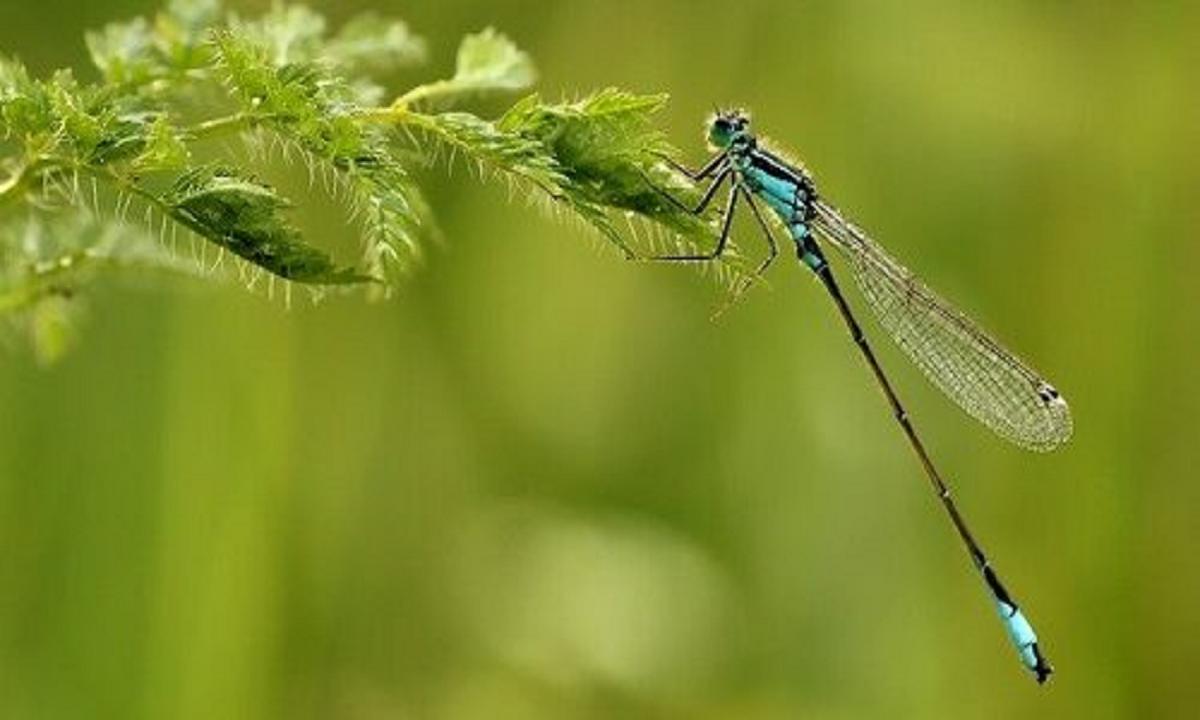 Penjelasan Daur Hidup Capung Si Serangga Purba