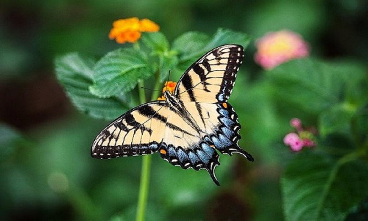 Metamorfosis Sempurna Pada Kupu-kupu, Penjelasan !
