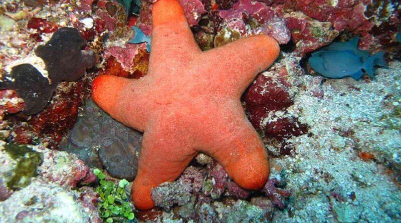 Berikut Penjelasan Cara Berkembang Biak Bintang Laut